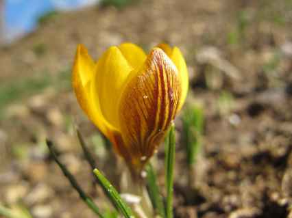 Crocus chrysanthus 'Dorothy' (4)