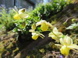 Epimedium grandiflorum 1