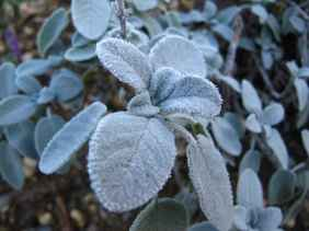 Salvia officinalis frozen