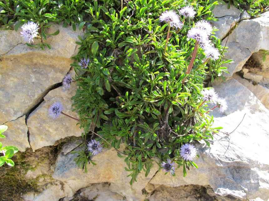 Globularia cordifolia2
