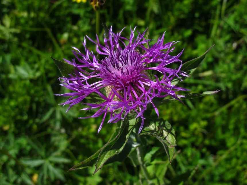 Centaurea uniflora subsp. nervosa (9)