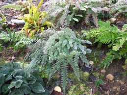 Adianthum pedatum Dryopteris erythrosora Blechnum spicant and another