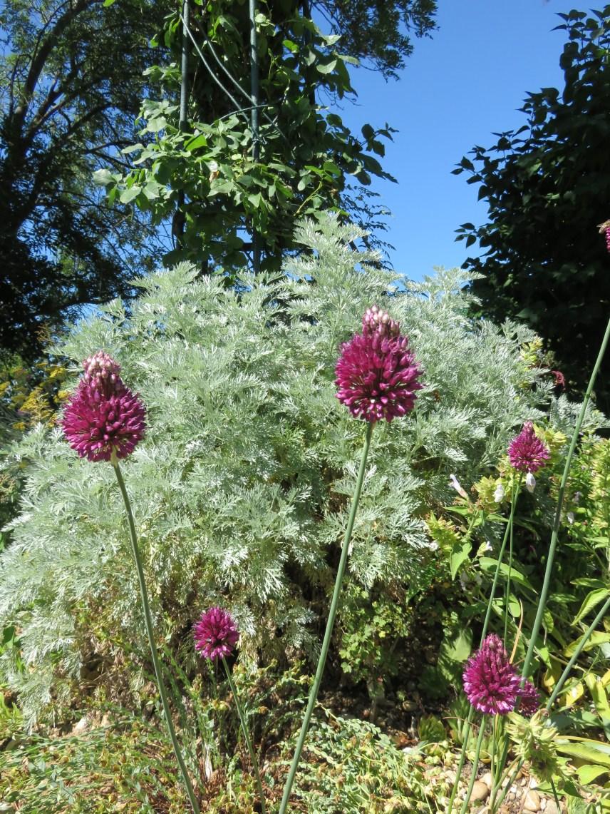 Artemisia 'Powis castle' Allium
