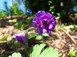 Geranium himalayense 'Plenum'