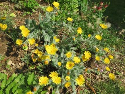 Hieracium tomentosa