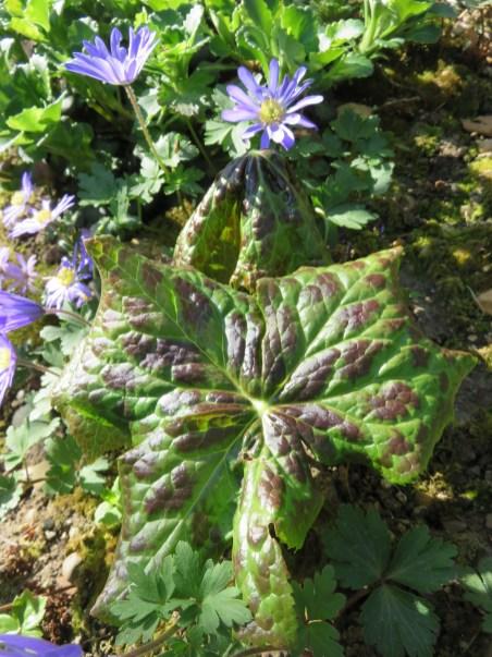 Podophyllum sp. (3)