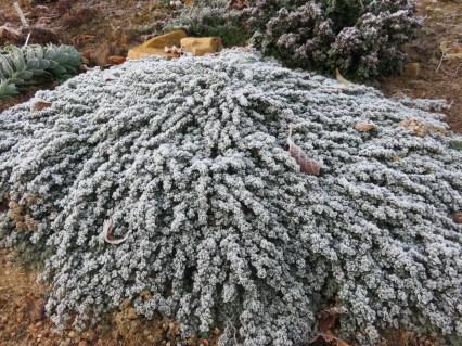 Thymus pseudolanguinosus (2)