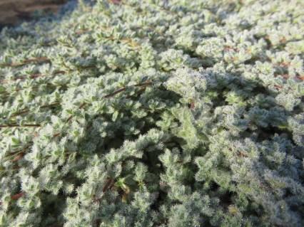 thymus pseudolanguinosus1