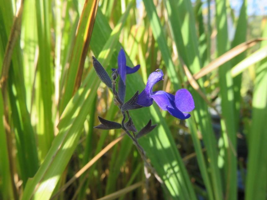 Salvia arbustive 'Bleue'