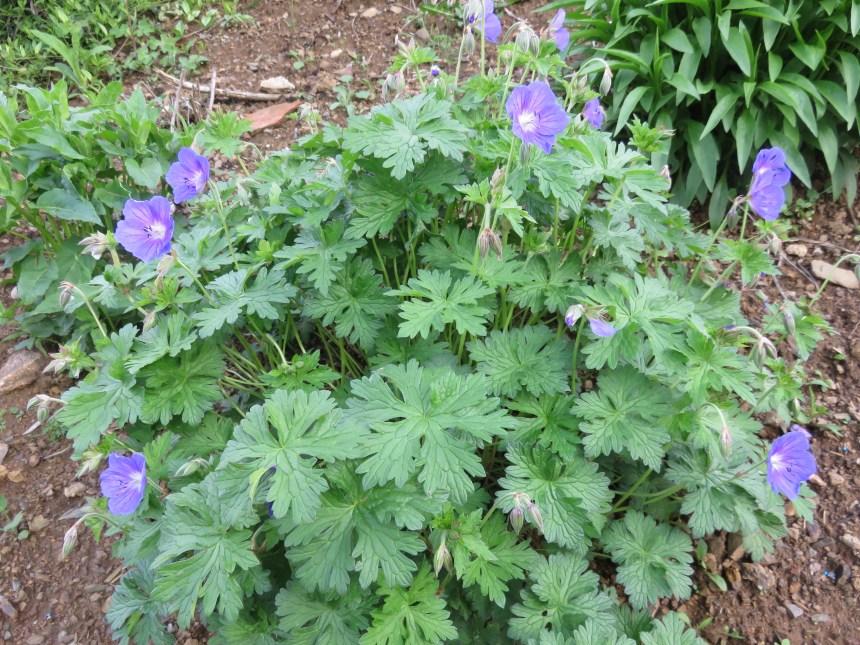 Geranium himalayense (3)