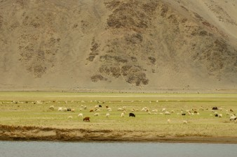 The Khurdil Pasmina farm