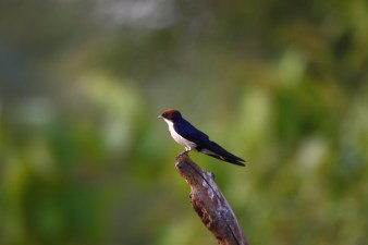 A wire tailed swallow.