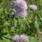 Watermunt (Mentha aquatica)