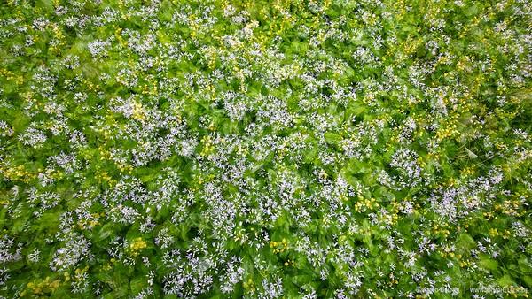 Bärlauch (Allium ursinum) und Goldnessel (Lamium galeobdolon) - Rheinauen