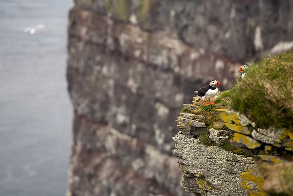 Papageitaucher (Fratercula arctica), Atlantic Puffin, Lundi - Látrabjarg, Vestfirðir