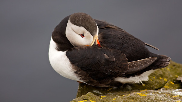 Lundi - Papageitaucher (Fratercula arctica), Látrabjarg, Westfjorde,Vestfirðir - Island