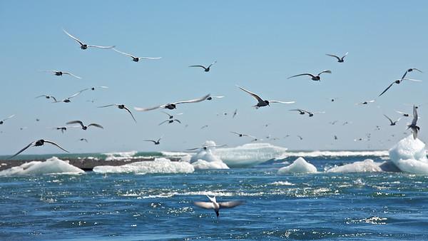 Küstenseeschwalben (Sterna paradisaea) am Jökulsárlón Strand - Island  Arctic Terns at Jökulsárlón Beach - Iceland