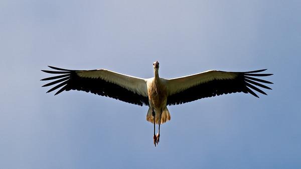 Junger Weißstorch im Flug
