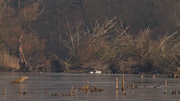 Umgestürzte Silber-Weiden (Salix alba) - Fermasee, Rheinstetten, Deutschland