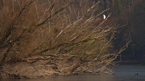 Silberreiher (Casmerodius albus) auf alten, umgestürzten Silber-Weiden (Salix alba) - Fermasee, Rheinstetten, Deutschland