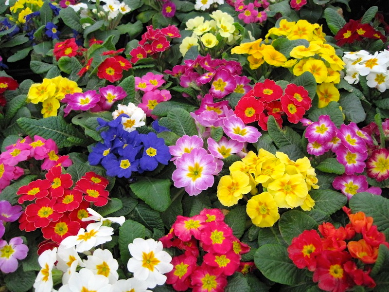 Primroses arnold zwicky 39 s blog - Plantas trepadoras de sol ...