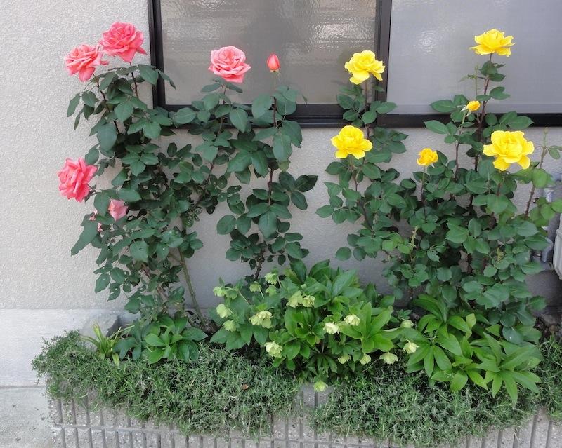 I Never Promised You A Rose Garden Arnold Zwicky 39 S Blog