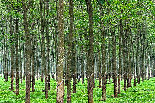 Rubber Trees Rubber Plants Arnold Zwicky S Blog