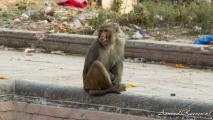 Apen bij Pashupatinath