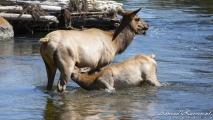 Elks in Madison River
