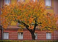 lieblingskirschbaum
