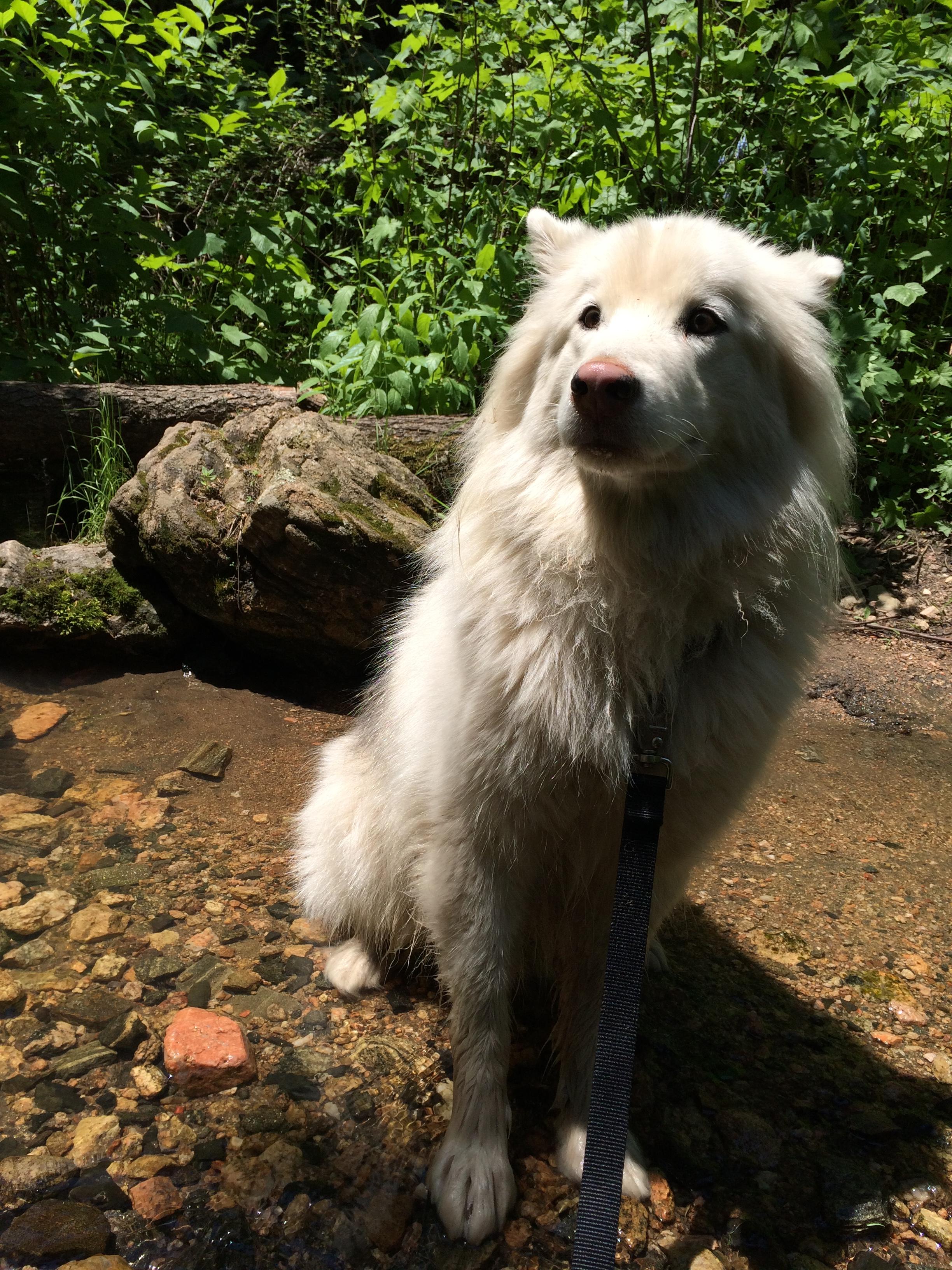 Fluffy Dog enjoying a snack break in a stream.