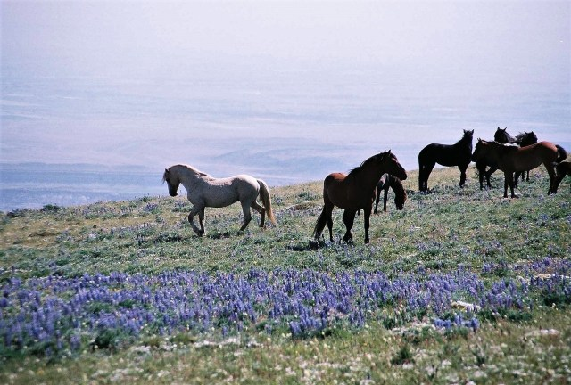 2003-07 Pryor Mountain 1 - Wild Horses (4)