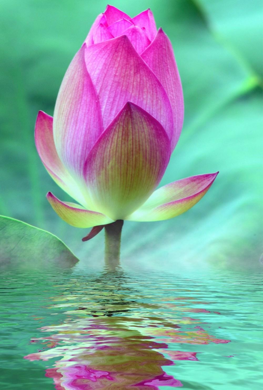 lotus-2573625_1920