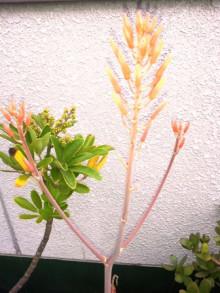 ナチュラルセラピースクールEarth-アロエ花