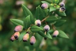 huile essentielle myrte verte