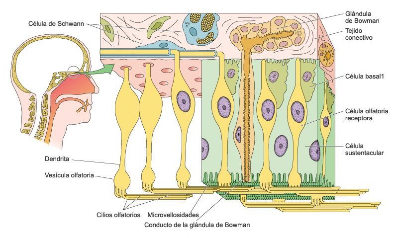 AromasQueCuran - El olfato - Cómo funciona