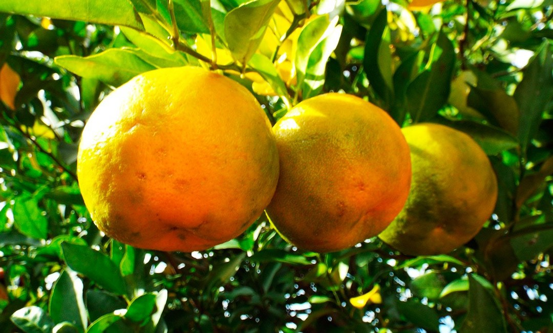 Aceite esencial de bergamota – citrus bergamia