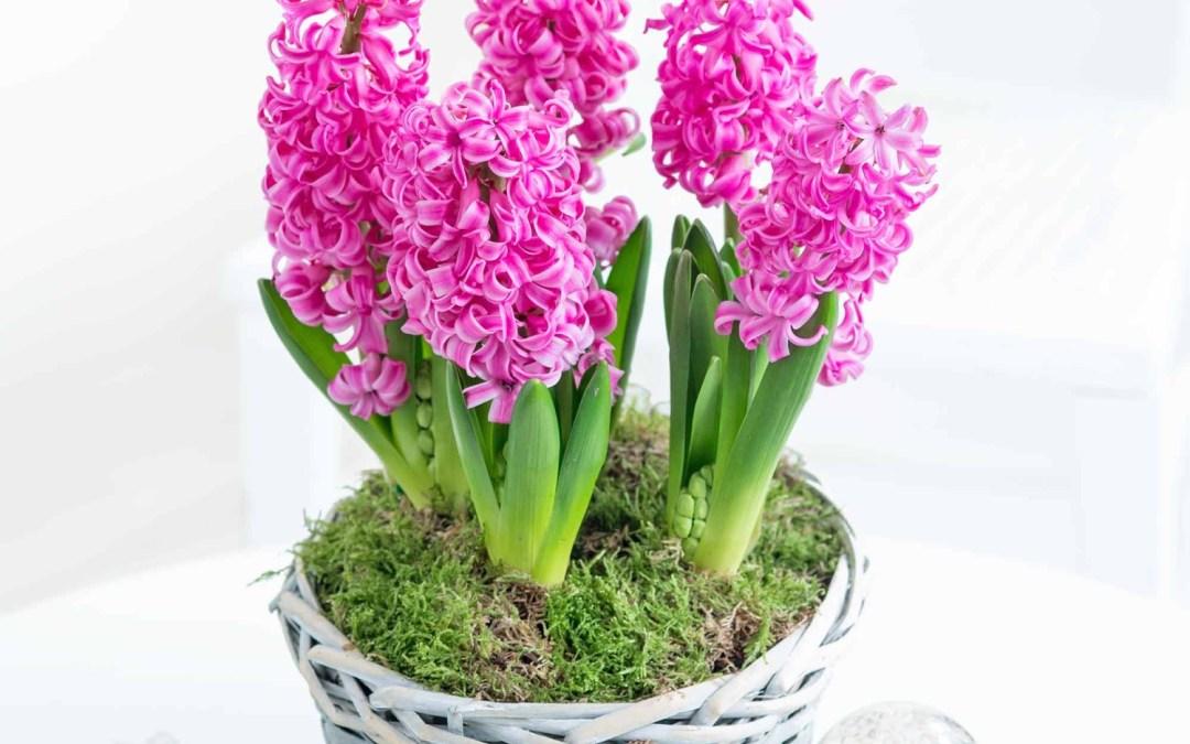 Aceite esencial de jacinto -hyacynthus orientalis