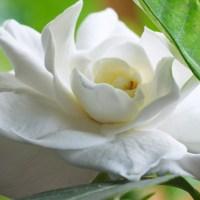 relajación con flores blancas