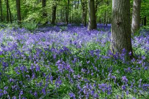 Transformative Meditation Blue Bell Wood