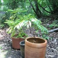 アーユルヴェーダ自然のお薬2:カレーリーフ栽培日記