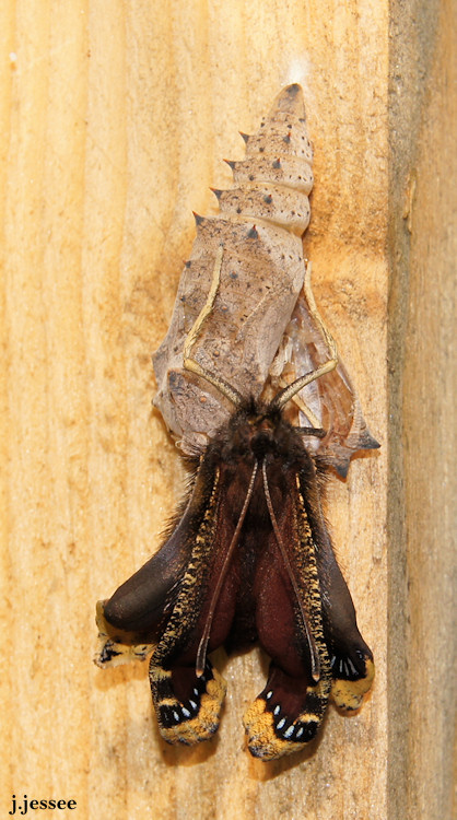 Butterfly exits cocoon