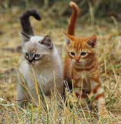 Знакомьтесь - Кокос и Карамель. Этих милых котят сняла Мария-Тереза из Эльзаса. Не все знают, что в помёте у обычной кошки может запросто родиться котёнок с сиамским окрасом (колор-пойнт). Например, мать этих котят - чёрная. Автор фото Marie-Thérèse