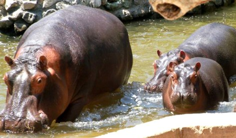 Fasano parco faunistico-ippopotami