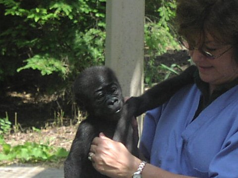 Baby gorilla with caretaker at Columbus Zoo
