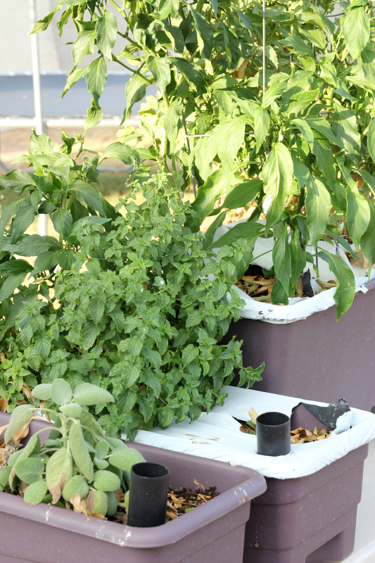 herbs, tomatoes, and peppers growing in an earthbox