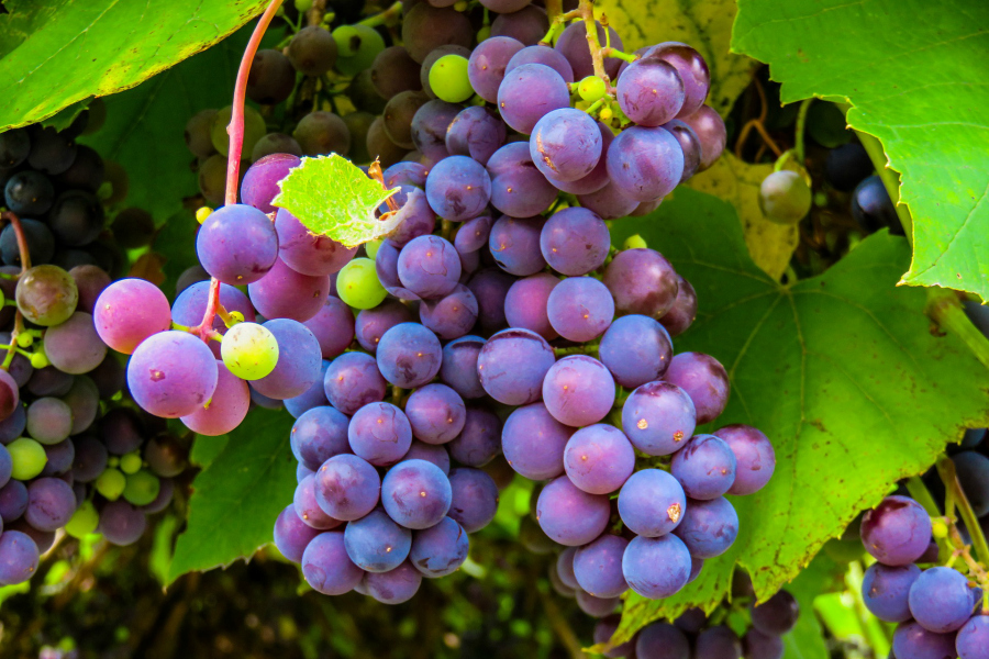 What's In Season -- Grapes