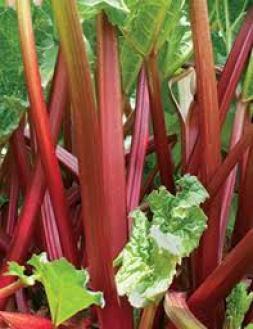 In harvesting rhubarb, leave half the stalk | Home & Garden ...