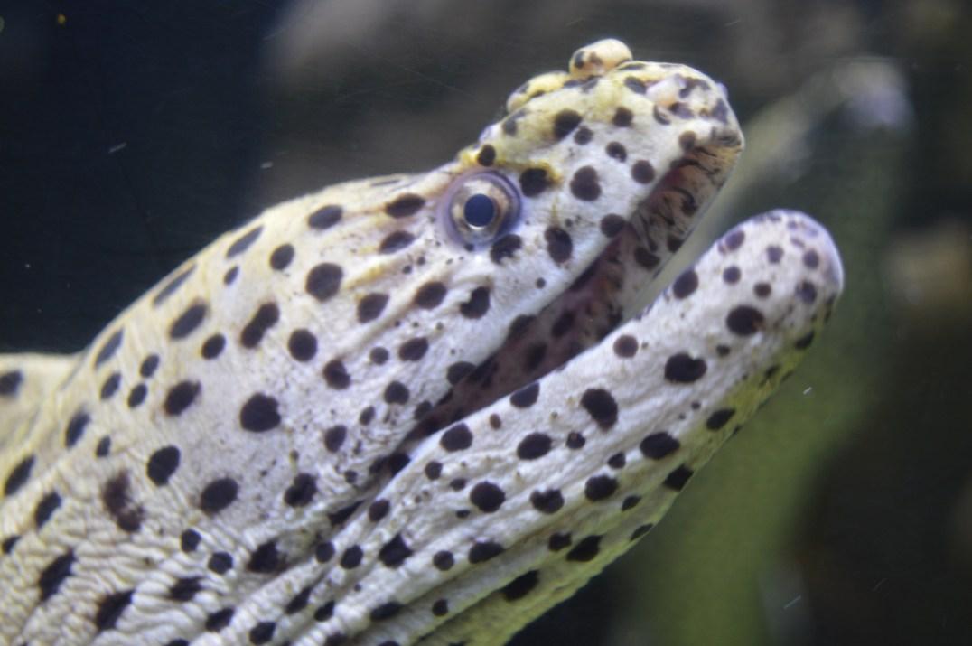 Moray Eel at exploris Aquarium in Portaferry