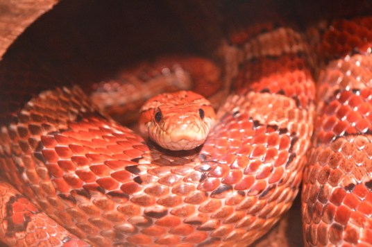 Corn snake at Exploris Aquarium in Portaferry